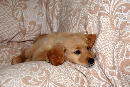 sorrowfully: small sad golden retriever puppy lying on sofa indoor