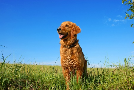 orange golden retriever dog portrait outdoors on green meadow over blue sky