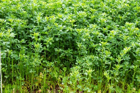 green fresh clover grass field growing at spring Stock Photo - 9561242