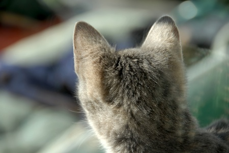 turn away: gray cat head from the back side outdoors Stock Photo