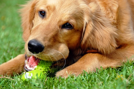 golden retriever young dog portrait with toy bone photo