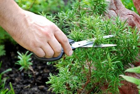 tagliare un ramo di rosmarino fresco verde nel giardino del condimento a mano