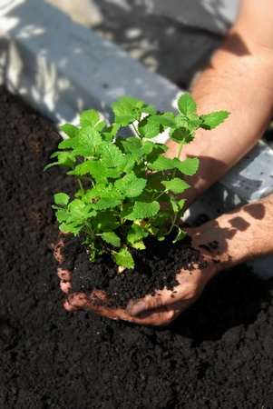 lemon balm planting in garden on black soil photo