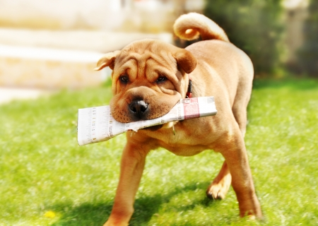 adorable shar pei dog carrying newspaper over green natural background outdoor photo