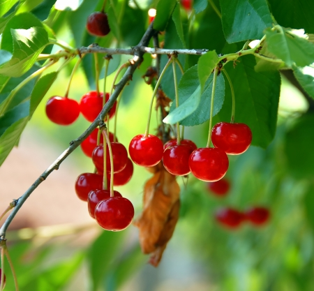 cherry tree: group of red cherries growing on tree closeup Stock Photo