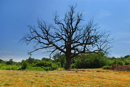 dead tree: scenic lonely old dry dead tree on meadow over rural landscape