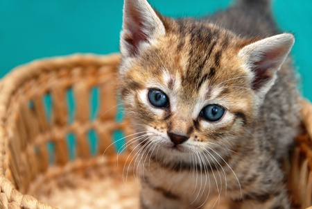 adorable baby cat in basket over green background