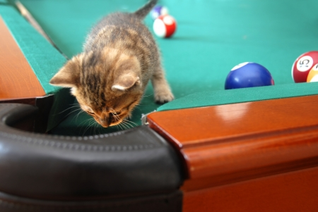 one curious little cat searching a billiards table Stock Photo - 10371272