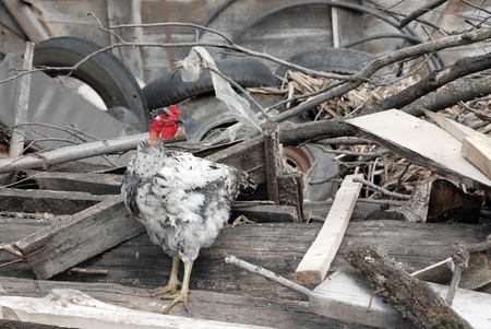 white hen with bald neck on farm yard between trash outdoors photo