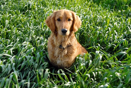 among: golden retriever young dog in green wheat field outdoor Stock Photo