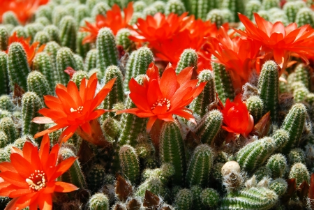 cactus flower: blooming flowers of Red Torch Cactus, Echinopsis huascha