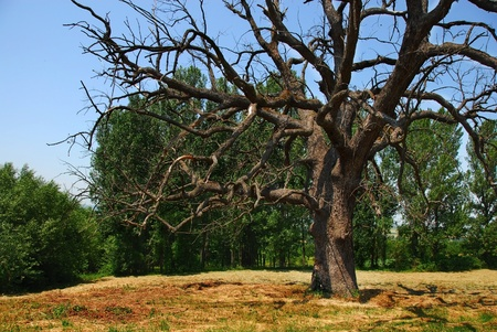 serbia landscape: scenic lonely old dry dead tree on meadow over rural landscape in Serbia