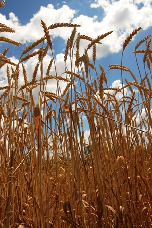 yellow wheat plant on field over scenic blue sky photo