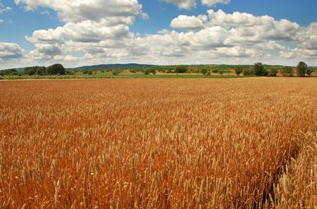 serbia landscape: yellow wheat plant on field over scenic landscape Serbia