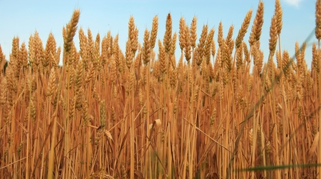 yellow wheat plant on field over blue sky photo