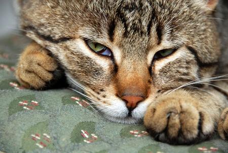 gray domestic mixed-bred sleeping cat portrait, waking up, closeup photo
