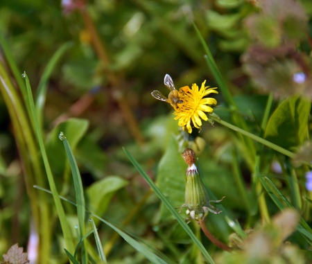 bee on yellow dandelion flower over blur green natural background photo