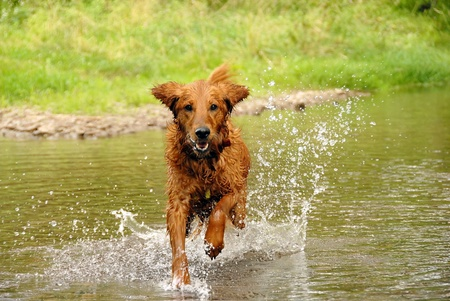 running wet orange golden retriever dog over water outdoors