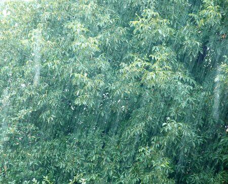 slantwise: rain drops over green walnut tree leaves