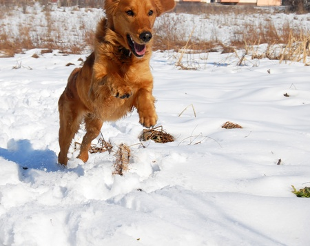 orange young golden retriever dog over rural snowy background jumping photo