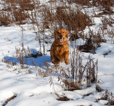 orange young golden retriever dog running at snow Stock Photo - 10728357