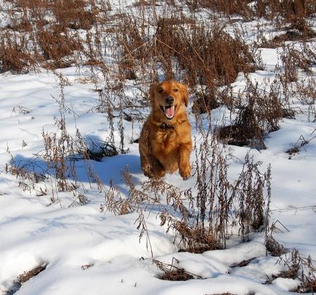 orange young golden retriever dog running at snow Stock Photo - 10728357