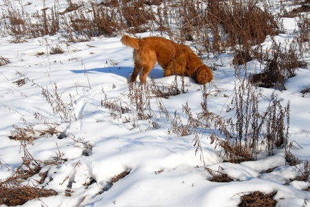 orange young golden retriever dog sniffing at snow Stock Photo - 10748289