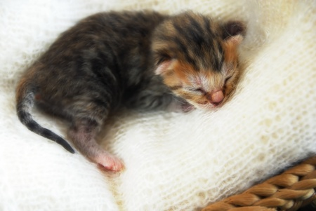 newborn blind baby cat sleeping on soft wool blanket photo