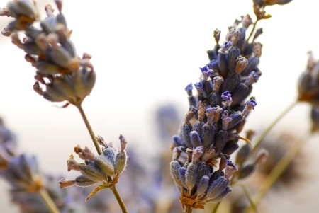 dried herb: dry lavender flowers closeup over white background