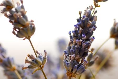 flores secas: Primer plano de flores de lavanda secas sobre fondo blanco