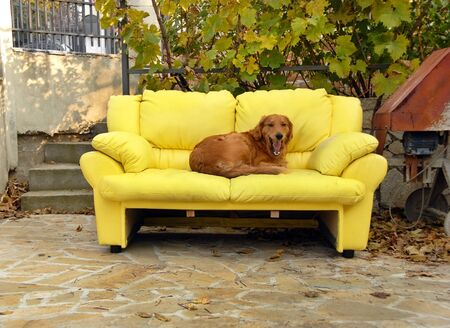 dog lying on yellow couch outdoor in yard Stock Photo - 11596357