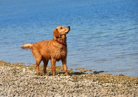 wet golden retriever young dog on riverbank looking up Stock Photo - 11791824