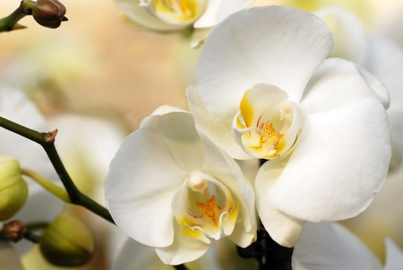 beautiful natural white orchid flowers closeup background Stock Photo