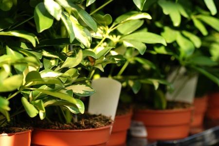 Schefflera or Dwarf umbrella tree in pots in garden center photo