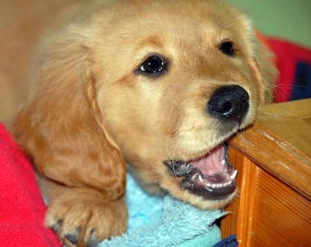 maxilla: little golden retriever puppy gnawing wooden footstep