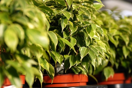 ficus benjamina in pots in garden center photo