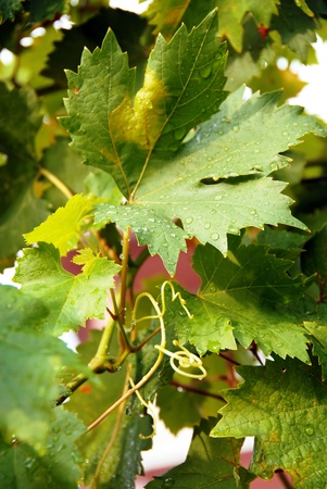 winy: viny green leaves with water drops in vineyard background