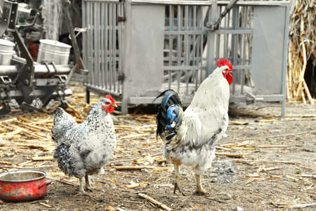 white hen and cockerel in rustic farm yard outdoors Stock Photo - 12787085
