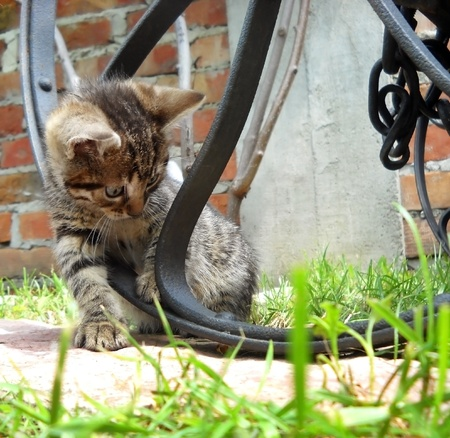 gray baby cat playing  on grass outdoors Stock Photo - 13013647