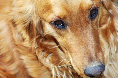ojos tristes: triste lindo retrato de naranja de oro del perro perdiguero Foto de archivo