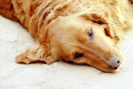 cute lying sad orange golden retriever dog portrait Stock Photo - 13113752