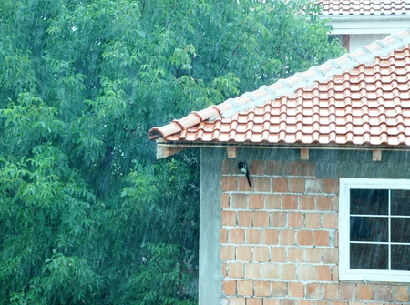 magpie hiding from rain under tiled roof photo