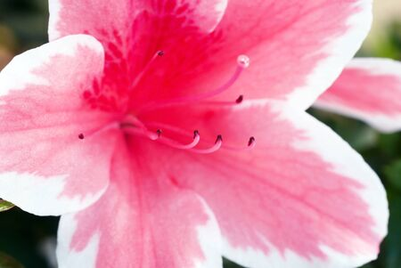 beautiful blooming pink Azalea flower closeup macro photo
