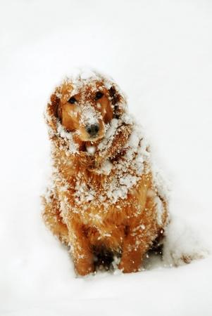 cute orange golden retriever dog with snowflakes at snow Standard-Bild