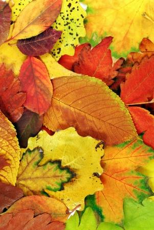 verschiedenen hellen bunten Herbst Baum Blätter Hintergrund Standard-Bild