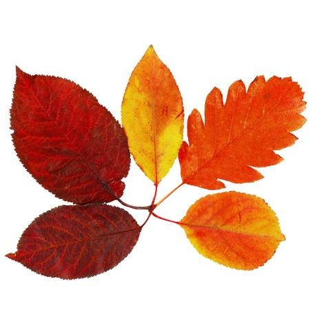 różne jasny kolorowe liście drzew jesienią na białym tle Zdjęcie Seryjne - 15220428