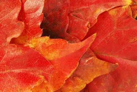 various bright red autumn tree leaves background photo