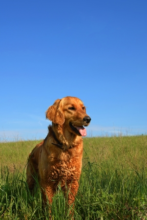 orange golden retriever dog portrait outdoors on green meadow over blue sky photo