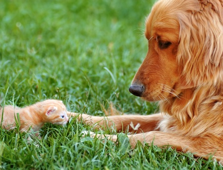curious: orange golden retriever dog and baby cat outdoor on green grass