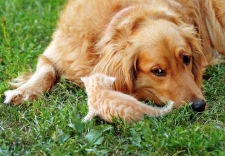 orange golden retriever dog and baby cat outdoor on green grass photo